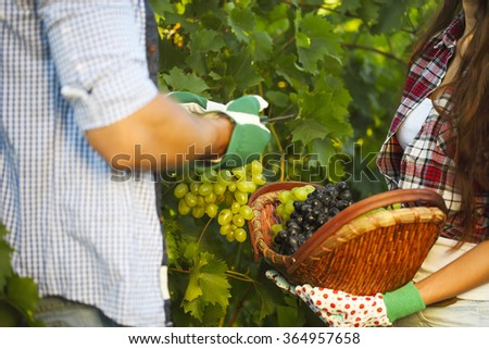 Young couple on picking grapes in the vineyard. Close up - stock photo
