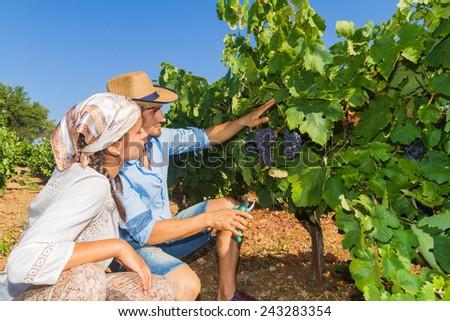 Young couple, vine growers, walk through grape vines inspecting the fresh grape crop. - stock photo