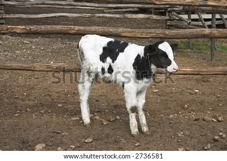 young cow in a farm - stock photo