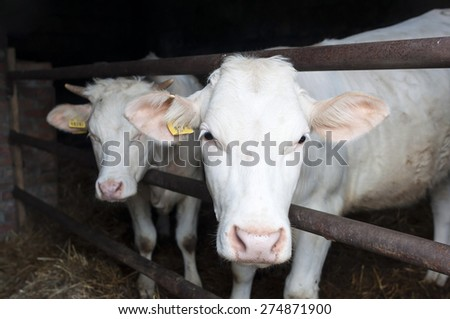 """Young cow meat breed """"Charolais"""" in the cowshed - stock photo"""