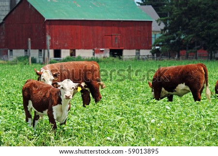 young cows grazing - stock photo
