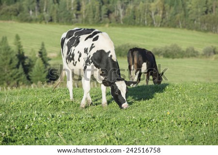Young cows / Heifers, grazing on a beautiful summer afternoon - stock photo