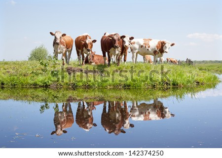 young cows in a meadow reflected in water - stock photo