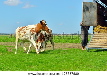 young cows in meadow after transport from stable - stock photo