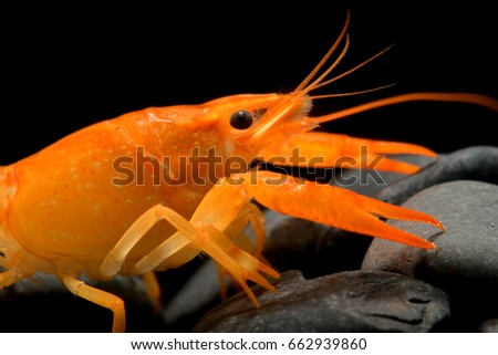 Crayfish stock images royalty free images vectors for Fishing with crawfish