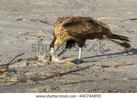 Young Crested Caracara (Caracara cheriway) scavenging on a dead fish on the ocean beach, Galveston, Texas, USA. - stock photo