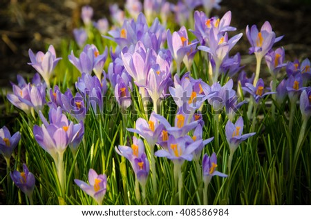 Young crocuses just started to blossom  - stock photo