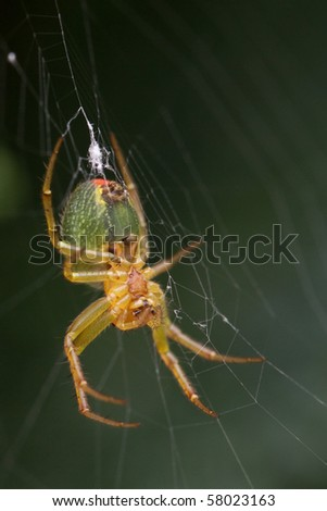 Young cross spider