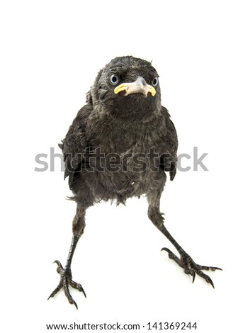 Young crow watching with blue eyes isolated over white - stock photo