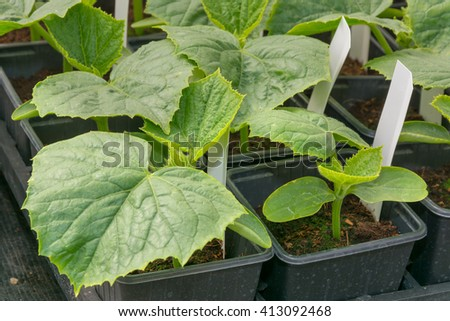 Young cucumber plants ready for plant out - stock photo