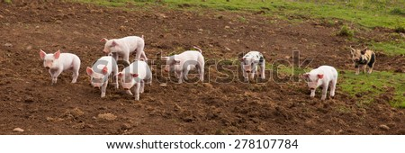 Young cute baby piglets running towards the camera including one with black spots panoramic view - stock photo