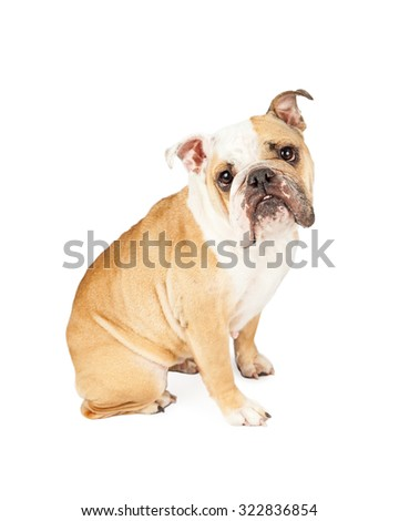 Young cute English Bulldog breed dog sitting to the side and looking forward into the camera