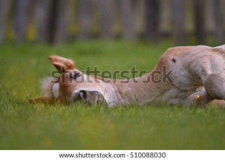 Young cute foal resting on mountain pasture