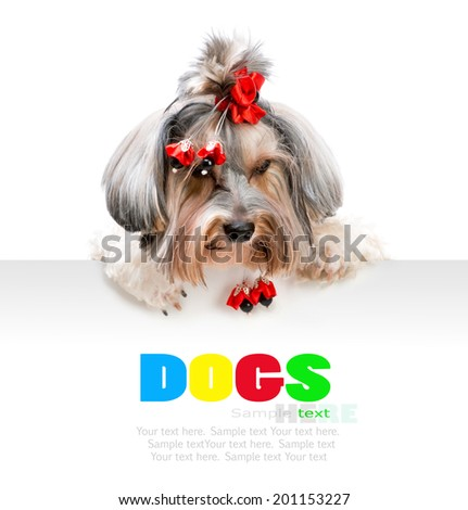 Young cute male of the Yorkshire Terrier isolated on white background
