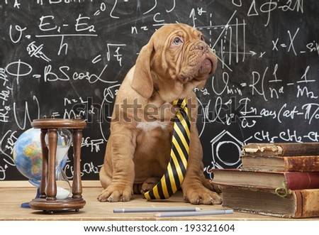 Young cute puppy in front of blackboard during a math class. Dogue de Bordeaux (French mastiff).  - stock photo