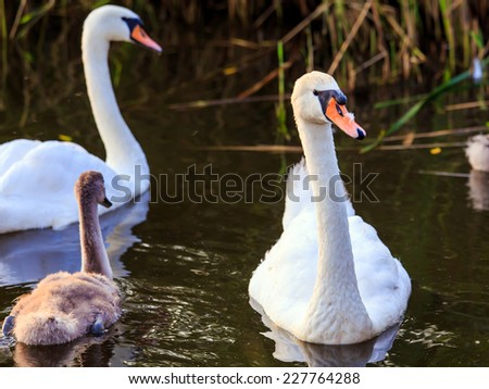 Young cygnet with its parents floating on the water surface - stock photo
