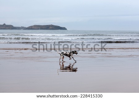 Young Dalmatian dog playing on the beach  - stock photo
