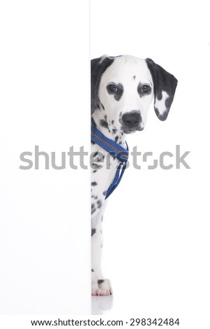 Young dalmatian looking round the corner isolated - stock photo
