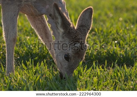 Young deer eating the grass at the morning - stock photo