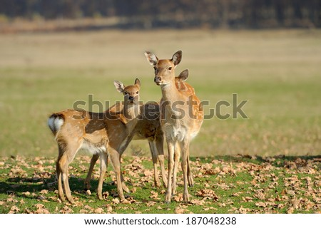 Young deer in field. Autumn day