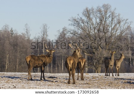 Young deer in winter in early morning