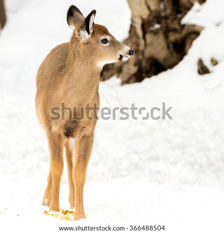 Young deer in winter, standing in the snow on a cloudy day.  There is room for text.