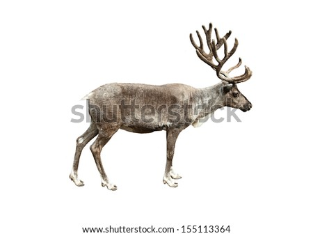 Young deer isolated on white - stock photo