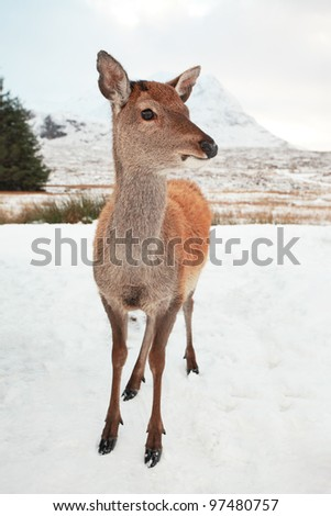 Young Deer standing on a snow covered Glencoe in the Scottish highlands