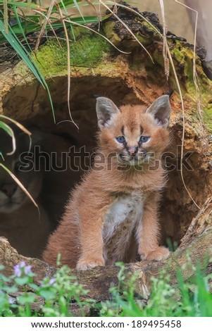 young desert lynx portrait - stock photo