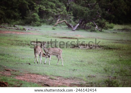 Young does in Sri Lanka Yala National Park - stock photo