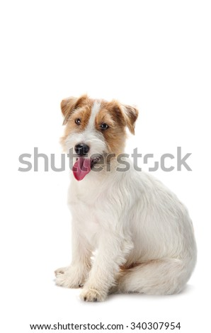 Young dog Jack Russell terrier with his tongue out on the white background