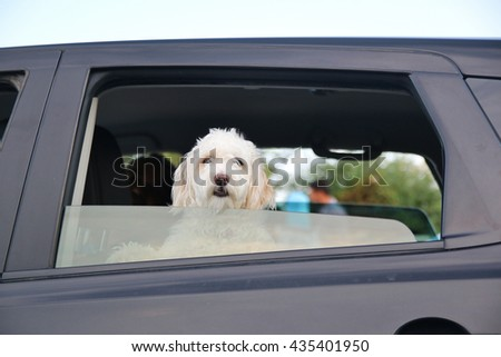 Young dog looking out the car window