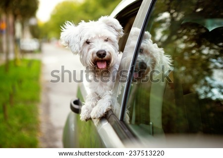 Young dog , maltese puppy looking out the car window  - stock photo