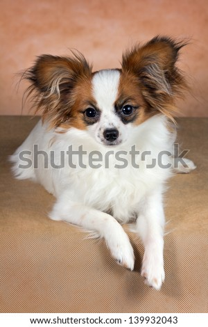 Young dog of breed papillon on a  beige background