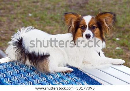 Young dog of breed papillon on a table