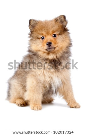 Young dog of breed Pomerian on a white background. - stock photo