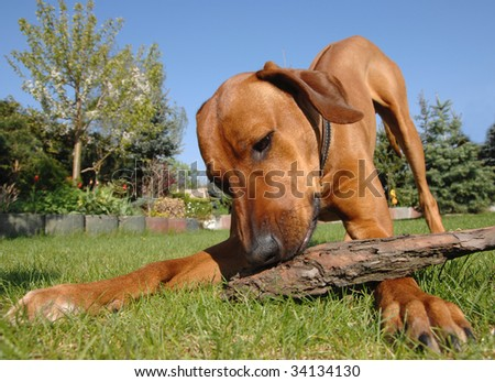 Young dog playing - stock photo