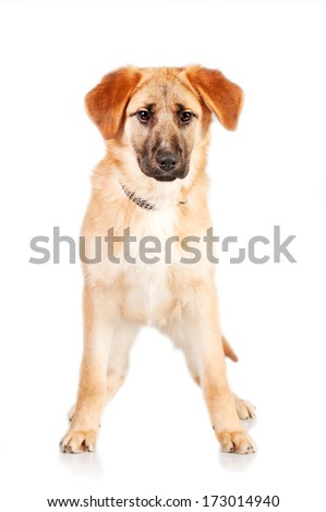 Young dog standing isolated on white