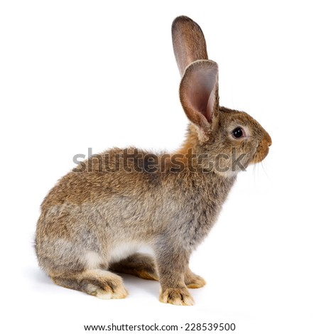 Young domestic brown rabbit sitting on white - stock photo