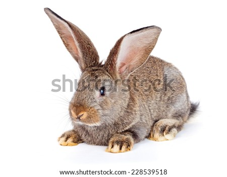 Young domestic brown rabbit sitting on white