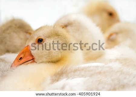 young domestic geese