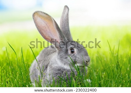 Young domestic gray rabbit in green grass - stock photo