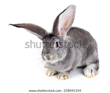 Young domestic grey rabbit on white background - stock photo