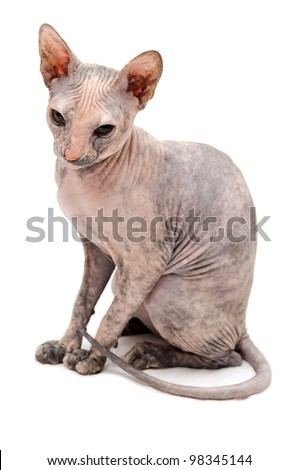 Young Don Sphynx on white background - stock photo