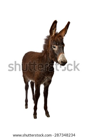 young donkey standing in front of a white background