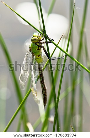 Young dragonfly dries wings on the blade of grass.