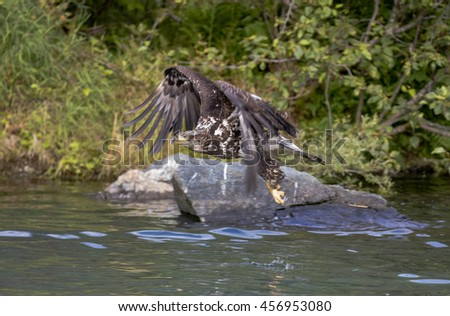 Young eagle flying over the water hunting for salmon at Wolf Creek, Alaska - stock photo
