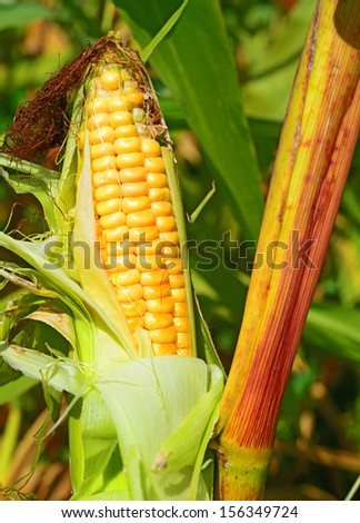 Young ear of corn on the stalk
