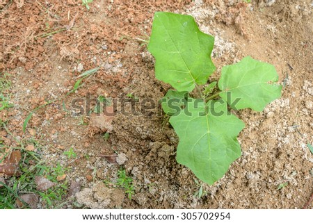 young eggplant seedling - stock photo