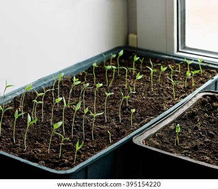 Young eggplant seedlings grown in trays on the windowsill. - stock photo